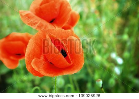 Beautiful wild red poppies on sunny summer day