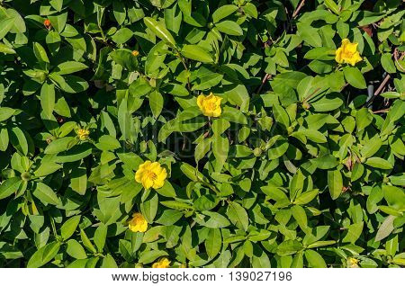 Abstract nature background with green hedge leaves and yellow flowers on a sunny day. Natural texture