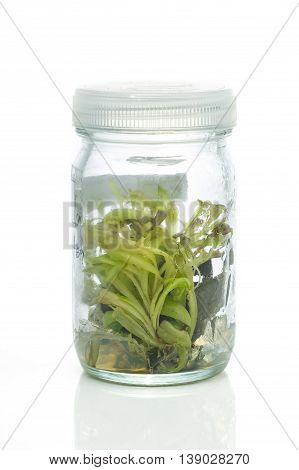Sundew (Carnivorous Plant)Plant tissue culture in the laboratory on white