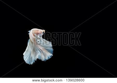 moving moment of white siamese fighting fish isolated on black background