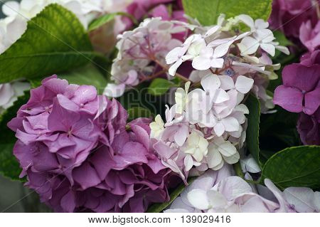 The dark purple and light lilac hydrangea flowers