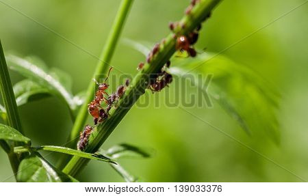 Red ant standing on a green stem macro