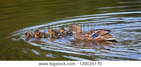 photograph of a Mother Mallard swimming with her duckling