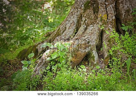 Tree trunk roots with carvings