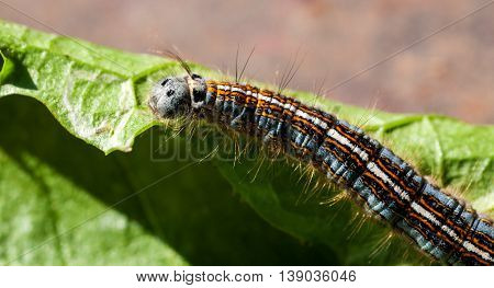 Colorful caterpillar crawling on green leaf macro shot selective focus