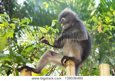 Monkey Eating Leaves