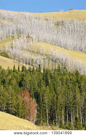 Forest in Yellowstone National Park, United States