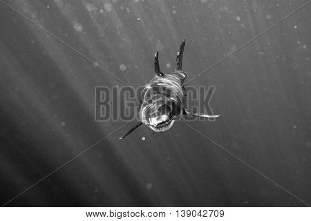 Great White Shark Ready To Attack In Black And White