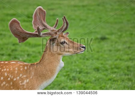 Fallow deer in a clearing, a portrait in the wild