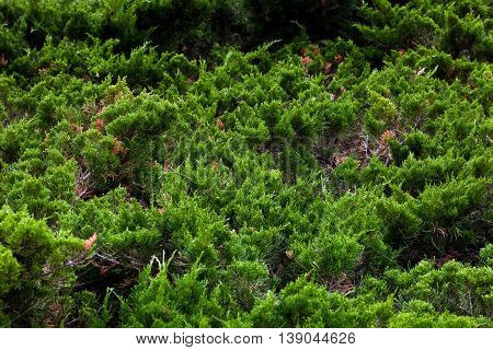 Background of coniferous dwarf trees in landscape design