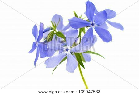 Spring phlox  beauty isolated on white background