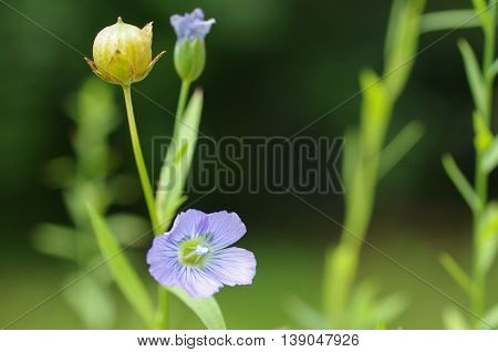 the plant of flax with blue flower