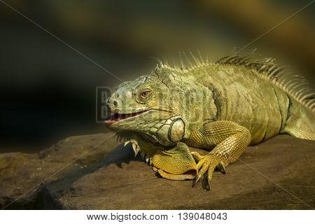 green iguana on a stone, blurred background