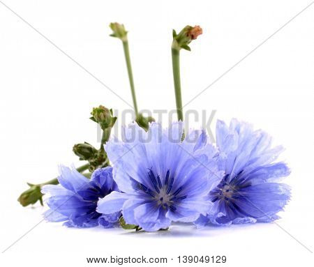 Common chicory Cichorium intybus flower