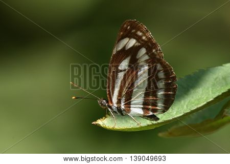 butterfly in natural habitat (neptis sappho)