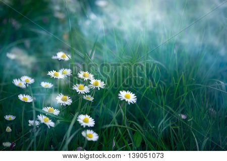 Spring or summer nature background with daisies in the morning