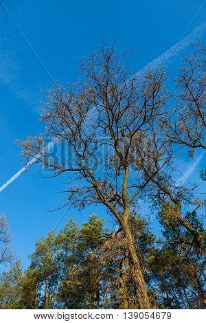 Autumn Acacia On A Background Of Blue Sky