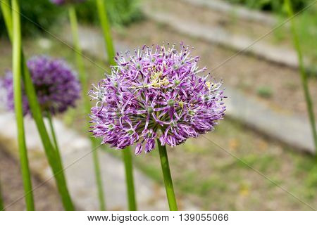 Purple color ornamental onion (Allium bulgaricum) in a botanical garden in Goettingen Germany