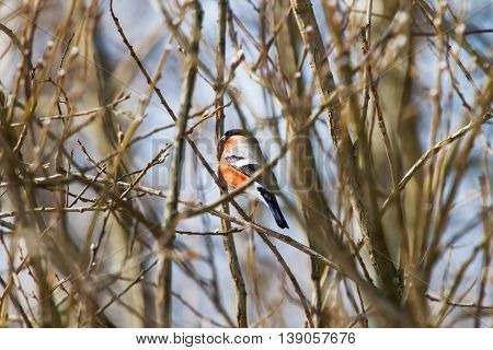 Natural winter background - frozen branches and bullfinch. Early cold sunny morning. Russia.