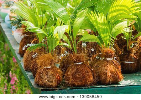 Natural background with seedlings of palm trees on a tray in the garden. Thailand.