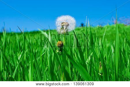 beauty dandelion in green grass in spring