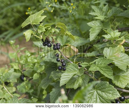 large black ripe currant berry on the bush with green leaves