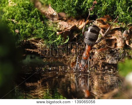 Ant drinking water from the forest stream