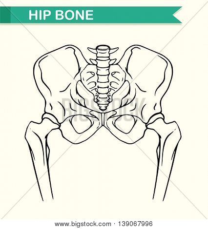 Human hip bone on paper illustration