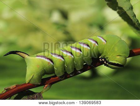Privet Hawk-moth Sphinx Ligustri Caterpillar