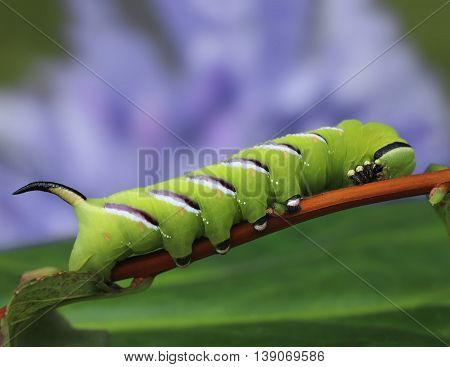 Privet Hawk-moth Sphinx Ligustri Caterpillar