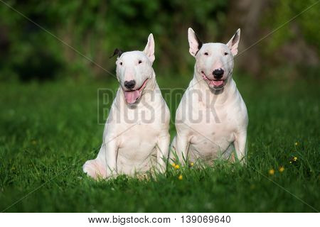 two english bull terrier dogs posing outdoors in summer