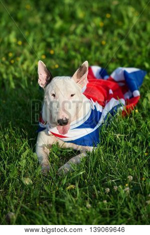 white english bull terrier dog posing outdoors with flag