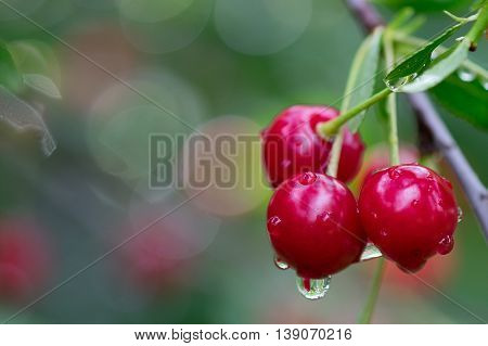 Red cherry fruits on the branch with rain drops in the summer time