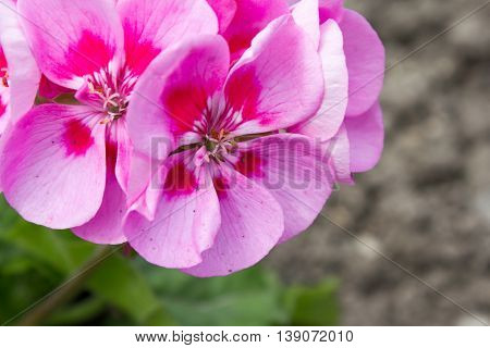 Pink Colored Pelargonium, Blooming In Spring In A Garden