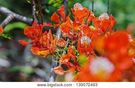 close up orange Royal Poinciana Flam-boyant The Flame Tree