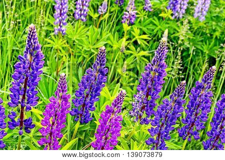 Summer landscape with beautiful bright lupine flowers