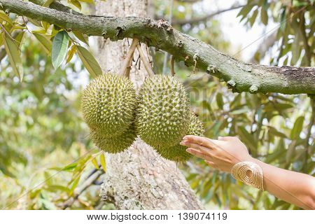 hand touching durian on the tree Thailand.