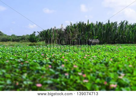 tilt shift lotus field and hut  in Vietnam countryside