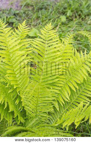 Fern Trusnik common or Black Sarana ( Matteuccia struthiopteris ). Wild fern in the forest