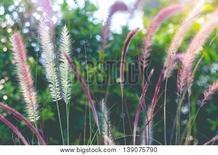 Beautiful flower grass in the garden. Beautiful summer with flower grass. Flower grass in sunshine day.(soft focus and vintage effect)