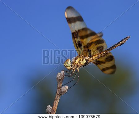 Orange dragonfly carrying so many eggs it is ready to lay them