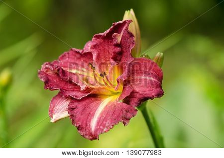 yellow-purple daylily flower bud in the blurry green background