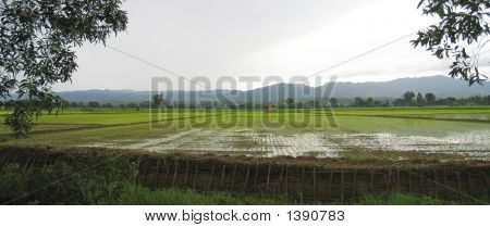 Flat Ricefield Just After The Rain, Myanmar