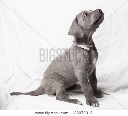 Sitting purebred grey Great Dane puppy on a white background