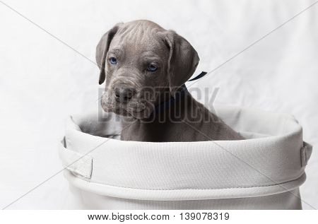 Blue eyed purebred Great Dane puppy in a white basket