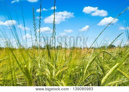Field of wheat on sunlight, cloudy sky, nature park Lonjsko polje, Croatia