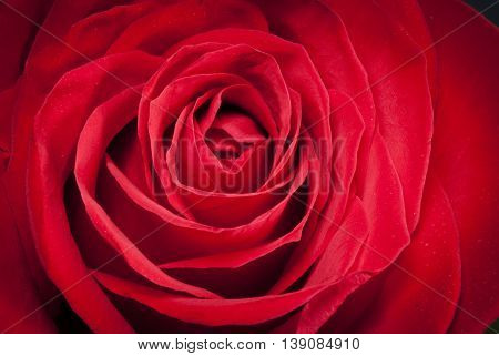 A Single beautiful red rose detail art