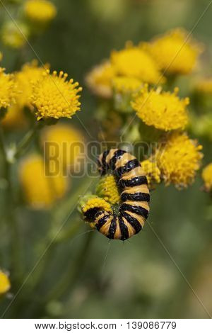 Caterpillar of a cinnabar moth on yellow tansy