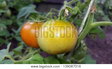 Fresh natural vegetables. Green tomatoes. Agriculture concept.