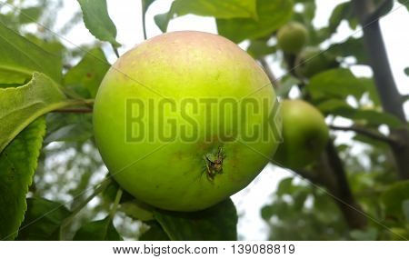 Apple tree branch with small green aples bunch.